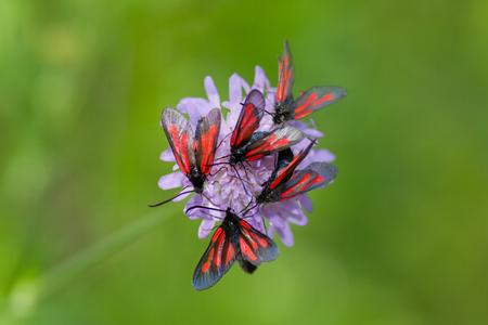 zygaena: Closeup of group butterflies  (Zygaena trifolii) on clover flower Stock Photo