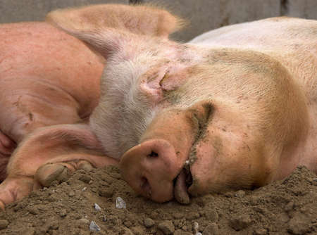 contented: Sleeping Pig with a contented look Stock Photo