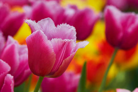 Tulip beautiful color rendition Stock Photo