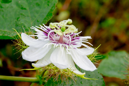 placenta: A passion fruit with its placenta nearby the forest.