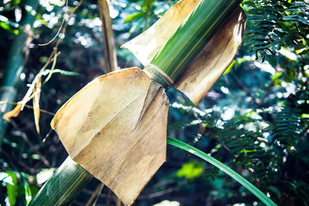 denuded: A dried denuded bamboo peel in a rain forest.