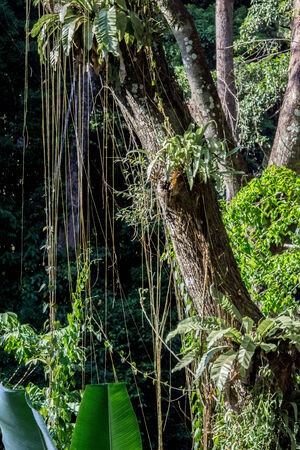 untidy: Untidy vines hang on a tree in a waterfalls forest.