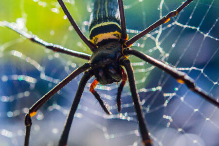 A golden orb web spider on a cobweb in a forest.