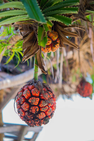 tectorius: Orange seashore screwpine fruit on the beach in Thailand.