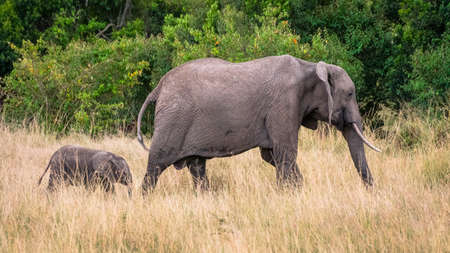Mother and baby Elephant in african savannah, at Masai Mara , Kenia Stock Photo