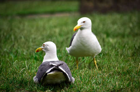 A couple of seagulls resting on the grass.