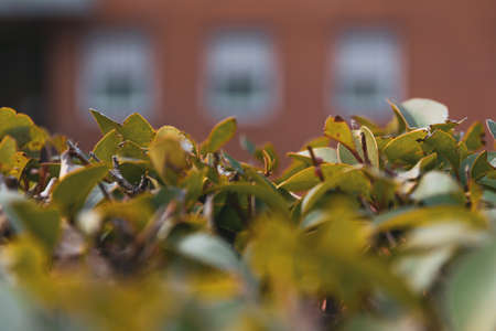 Leaves and branches of hedge in the foreground and three orange brick building windows out of focus in the background. House concept. Stock Photo