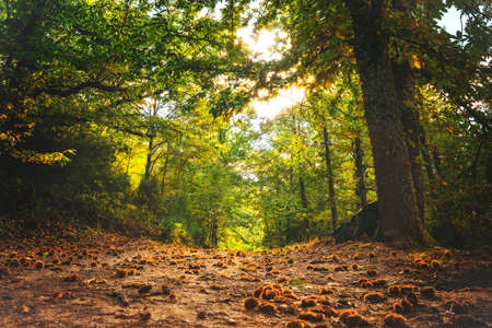 Autumn magic forest. From the ground, path full of chestnuts, It makes its way through the trees. Hervas, Spain.