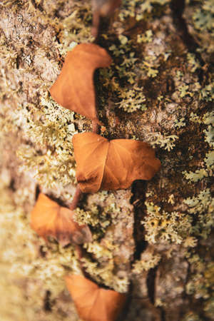 Nature Macro details. Trunk full of lichens with dry creeper leaves typical of autumn.