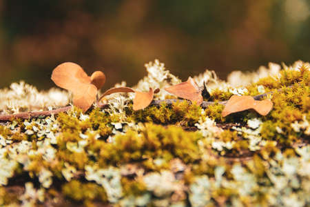 Nature Macro details. Trunk full of lichens with dry creeper leaves typical of autumn. Unfocused background. Stock Photo