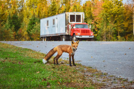 Red fox (Vulpes vulpes) close to the road and truck in background. La Mauricie National Park, Canada