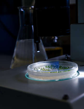 Culture in a petri dish under a light stereomicroscope is examined for pharmaceutical bioscience research. Concept of science, laboratory and study of diseases.