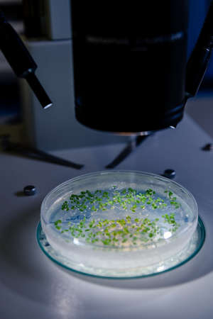 Culture in a petri dish under a light stereomicroscope is examined for pharmaceutical bioscience research. Concept of science, laboratory and study of diseases. Coronavirus (COVID-19) treatment developing.