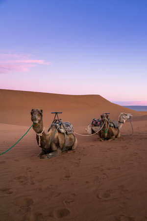 Pair of camels on the desert dune of Erg Chigaga, at the gates of the Sahara, at dawn. Morocco. Concept of travel and adventure. Stockfoto
