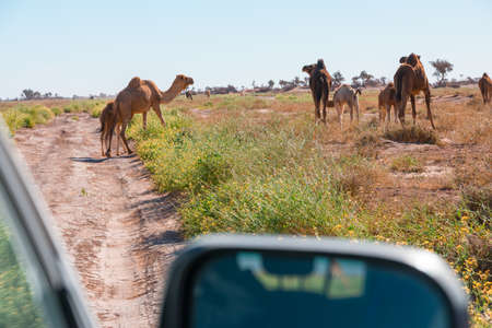 Camels seen from the car in El Gouera, at the gates of the Sahara. Morocco. Concept of travel and adventure.