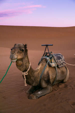 Dromedary on the desert dune of Erg Chigaga, at the gates of the Sahara, at dawn. Morocco. Concept of travel and adventure.