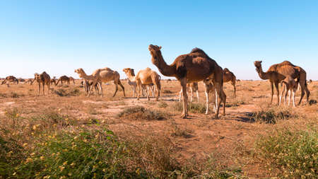 Herd of camels in El Gouera, at the gates of the Sahara. Morocco. Concept of wildlife Stockfoto