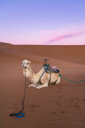 White dromedary on the desert dune of Erg Chigaga, at the gates of the Sahara, at dawn Morocco. Concept of travel and adventure.