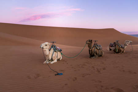 Dromedary group on the desert dune of Erg Chigaga, at the gates of the Sahara, at dawn. Morocco. Concept of travel and adventure.