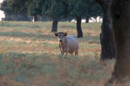 Closeup of a Charolais cattle surrounded by trees in Spanish Dehesa, Salamanca, Spain