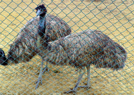 ratite: Emu Stock Photo