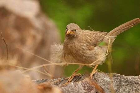 Yellow billed Babbler or White headed Babbler in India 免版税图像