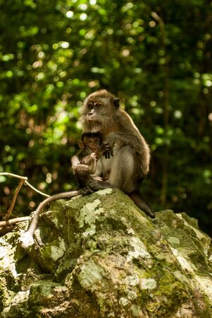 Monkey with young on a rock feeding Stock Photo