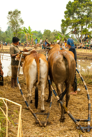 Batusangkar, Indonesia, August 29, 2015: Two cows getting ready for cow race Pacu Jawi, West Sumatra,