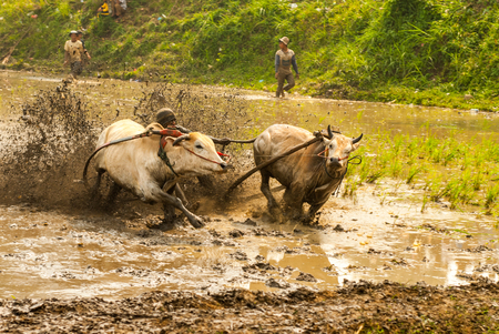 Batusangkar, Indonesia, August 29, 2015: Two cows and one man in full action at cow race Pacu Jawi, West Sumatra,
