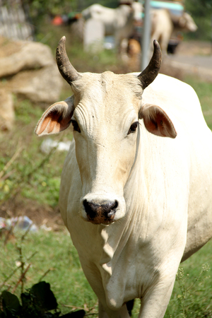 indian Cow, Desi white cow