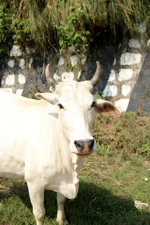 indian Cow, Desi white cow