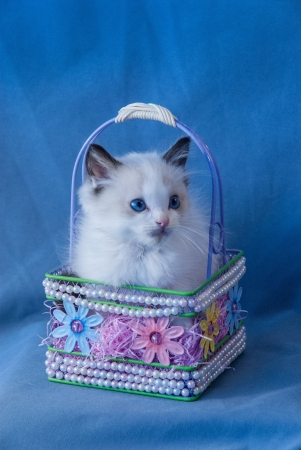 pure bred: Cute seal bi-color Ragdoll kitten sitting in a basket Stock Photo