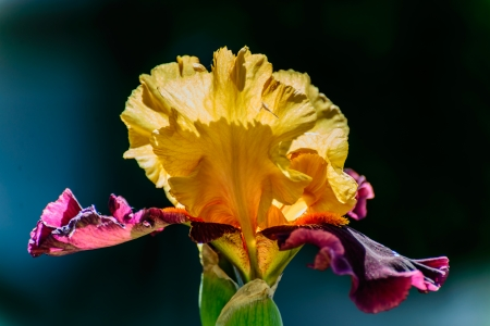 The delicate petals of the yellow and purple iris are beautiful