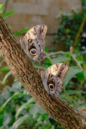 animal limb: Beautiful Mournful Owl Butterflies sit on a tree limb basking in the warm sun  Stock Photo