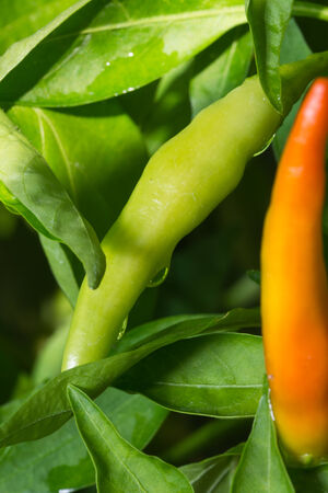 Fresh hot chili pepper