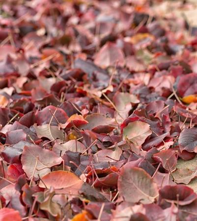 Autumn peech tree leaves on the land