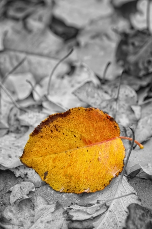 Single colorful autumn leaf under rain isolated on black and white background photo
