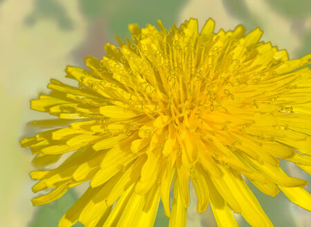 Beautiful yellow dandelion glowing brightly under the sun light