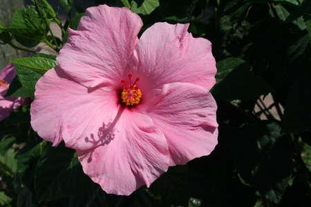 Close up Pink hyacinth