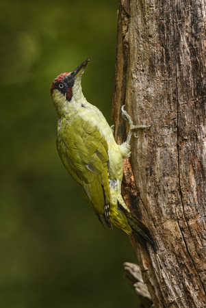 Eurasian Green Woodpecker - Picus viridis, beautiful green shy woodpecker from European forests and woodlands, Hortobagy National Park, Hungary. Stock Photo