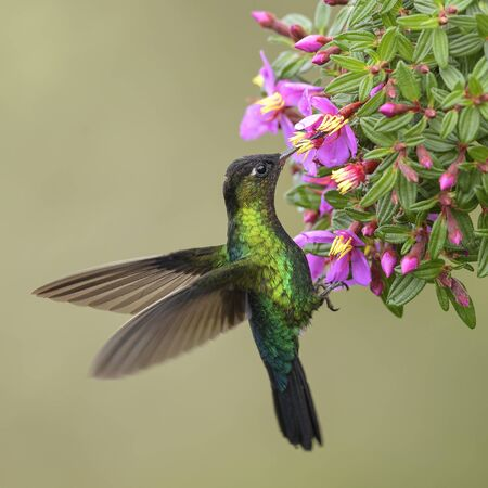 Fiery-throated Hummingbird - Panterpe insignis, beautiful colorful hummingbird from Central America forests, Costa Rica.