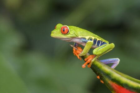 Red-eyed Tree Frog - Agalychnis callidryas, beautiful colorful from iconic to Central America forests, Costa Rica. Imagens