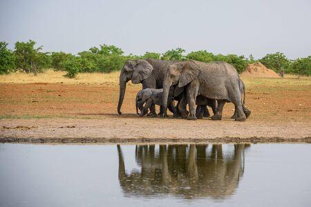 African Bush Elephant - Loxodonta africana, iconic member of African big five, Safari in Etosha, Namibia. Stok Fotoğraf