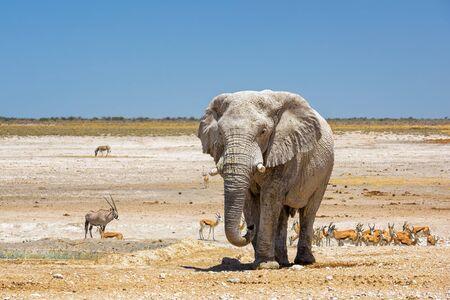 African Bush Elephant - Loxodonta africana, iconisch lid van de Afrikaanse big five, Safari in Etosha, Namibië. Stockfoto
