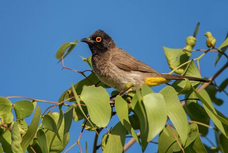 Black-fronted Bulbul - Pycnonotus nigricans, beautiful perching bird from African bushes and savannas, Namibia. Imagens