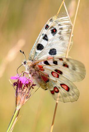 Apollo Butterfly - Parnassius apollo, beautiful iconic endangered butterfly from Europe, Stramberk, Czech Republic. Reklamní fotografie