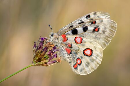Apollo Butterfly - Parnassius apollo, beautiful iconic endangered butterfly from Europe, Stramberk, Czech Republic.
