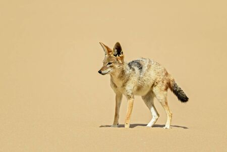 Black-backed Jackal - Canis mesomelas; beautiful carnivores from African bushes, deserts and grasslands, Namib desert, Namibia.
