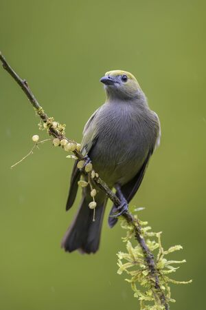 Palm Tanager - Thraupis palmarum, beautiful gray tanger from Costa Rica forest. Banque d'images