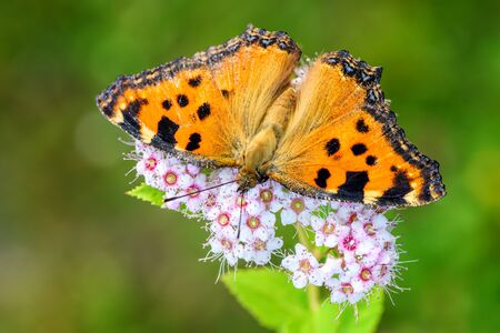 Large Tortoiseshell - Nymphalis polychloros, beautiful brushfoot butterfly from European meadows and bushes, Czech Republic.